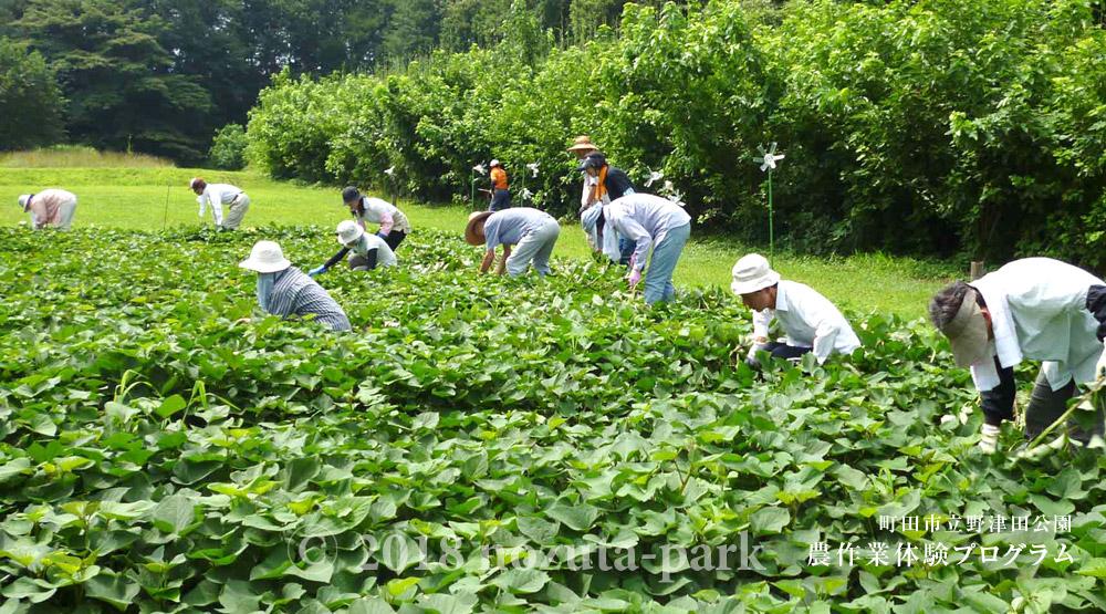 農作業体験プロジェクト「除草&サツマイモのつる返し」が開催されます!