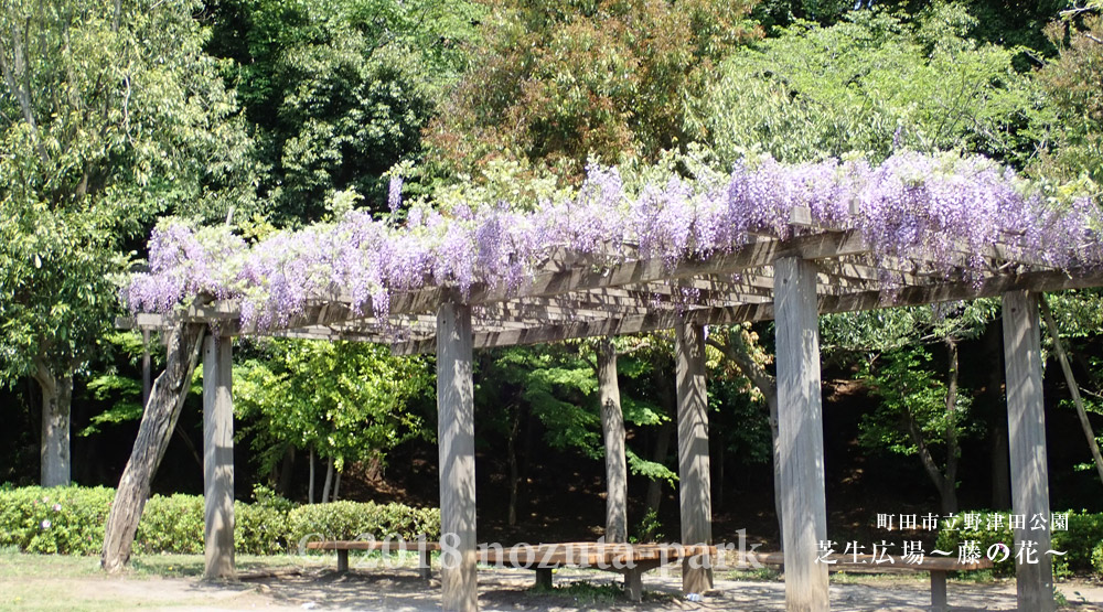 藤の花 芝生広場