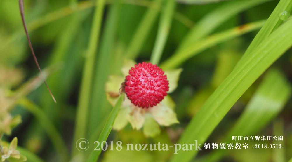 野津田公園野いちご