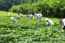 農作業体験プロジェクト「サツマイモの根付」が開催されます!