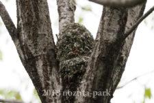 エナガの巣作り